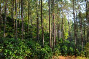 Café saludable de alta calidad bajo los pinares de Honduras. Foto de: CRS/Chris Seremet
