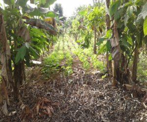 Sistema Agroforestal de cacao con rotaciones de leguminosas y cobertura permanentes