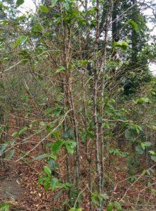 Una planta de café que ha perdido sus hojas debido a la roya de la hoja. Foto de Kraig Kraft.